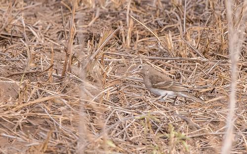 Yellow-spotted bush-sparrow - Gymnoris pyrgita  - Sahelrotsmus ssp pyrgita