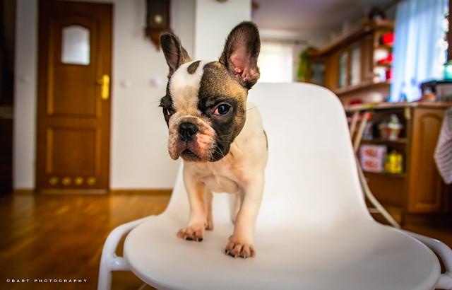 French Bulldog puppy, Poland