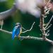 Bruce Batten posted a photo:Common Kingfisher, Alcedo atthis, Male, Onda R, 恩田川, Cherry, Yoshino Cherry, Prunus × yedoensis, ソメイヨシノ, Color Efex