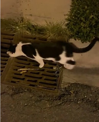 SIGHTING 2 cats - one dmh black cat & one dsh black & white cat - in #Taradale. Pls rt, share, watch, help Two lost cats on Taralake Green. Have absolutely 0 idea what to do right now because itu2019s so late. Gave them a blanket, both are super friendly! Upd