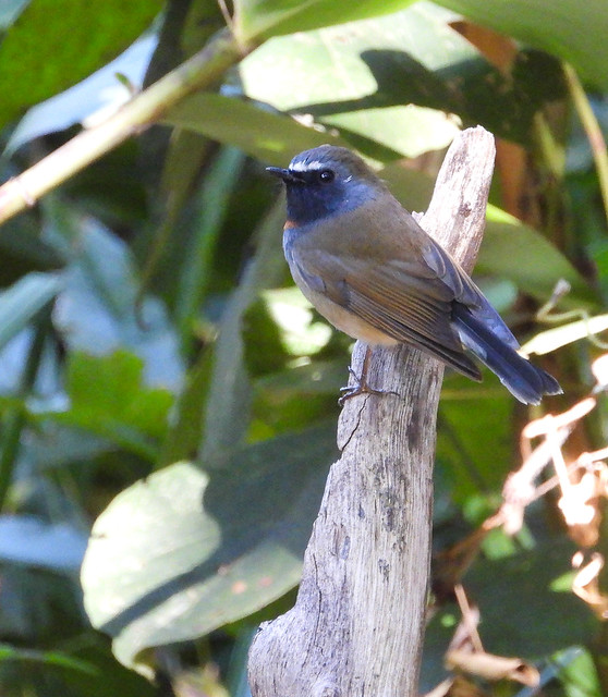 Rufous-gorgeted Flycatcher (Ficedula strophiata)-3551