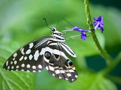 Anise Swallowtail feeding
