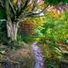 Maple Tree Path