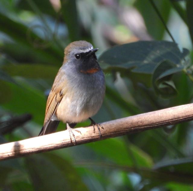 Rufous-gorgeted Flycatcher (Ficedula strophiata)-3566