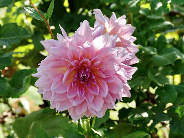 one of my dahlias this summer