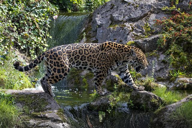 Jaguar Strolling Across Waterfall