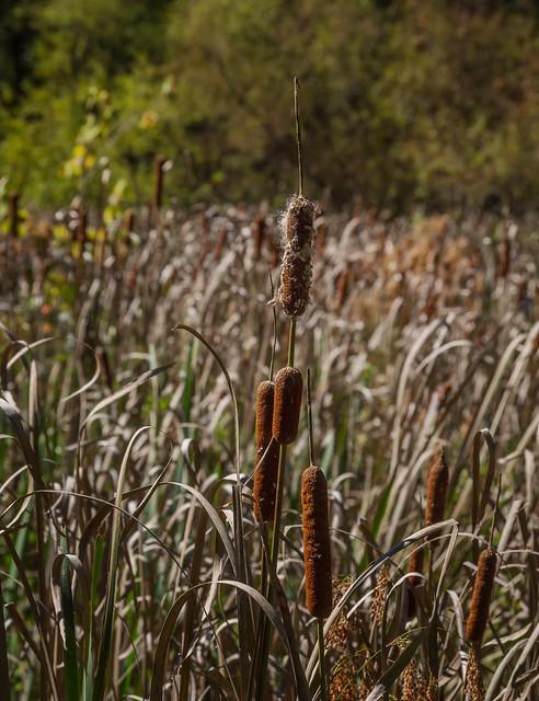 Field o'cattails (01)