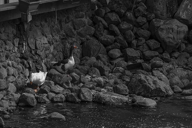 ¡Al agua, pato!