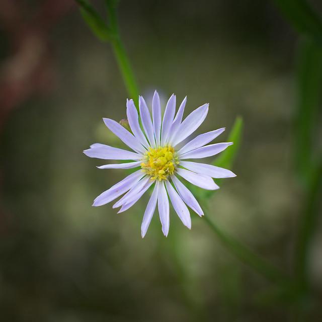 Flower 0062 — Symphyotrichum cordifolium