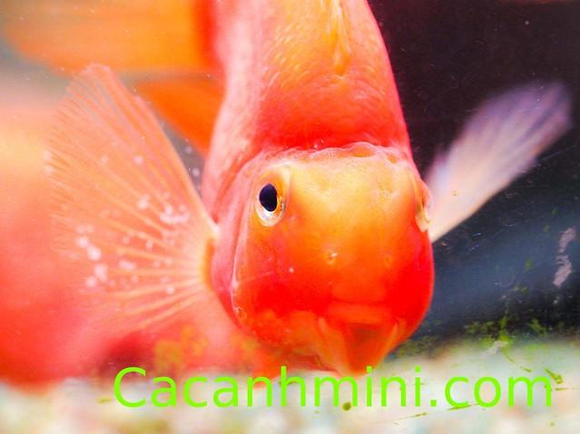 Cá hồng két nuôi chung với cá nào