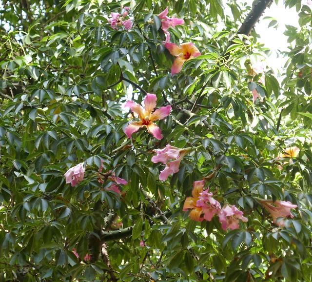 Les belles fleurs du ceibo, le