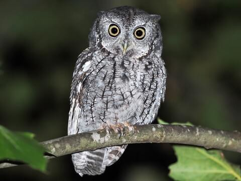 a photo of a screech owl downloaded off the internet