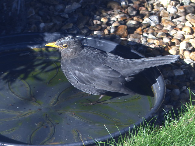 Blackbird in the Sunshine