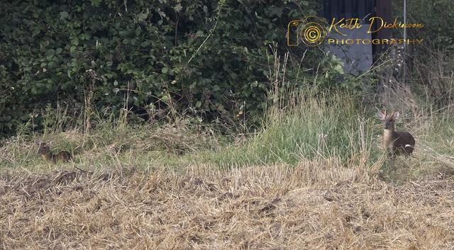 Muntjac Deer - Muntiacus reevesi