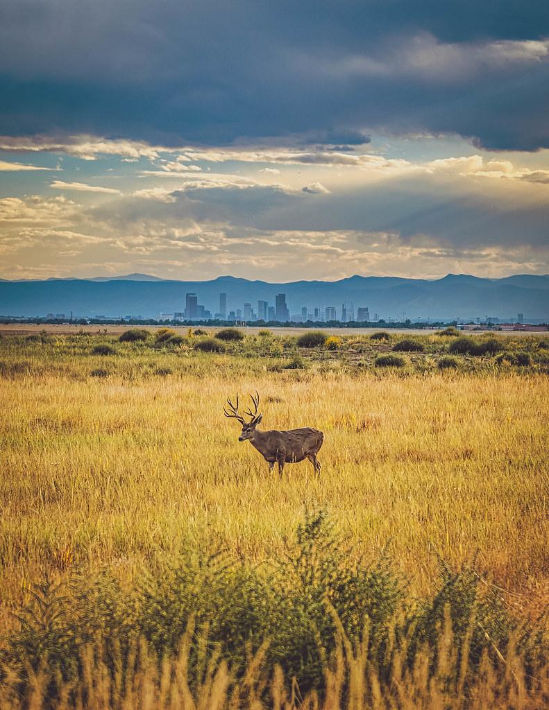 Mule deer and the Denver skyline. Colorado. 2021.