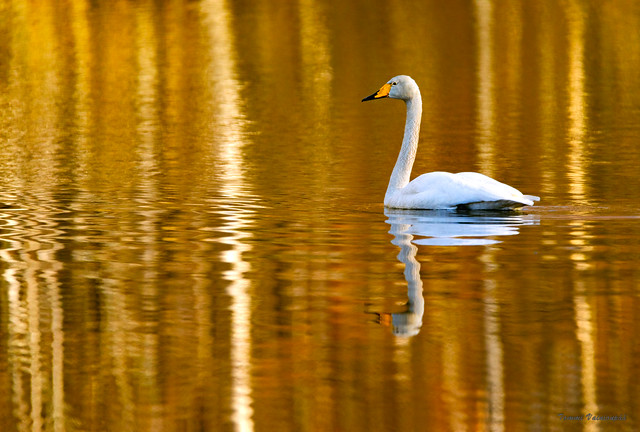 Golden Moment for a Swan