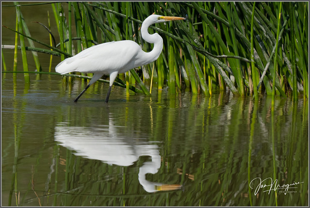 Egret with Dragonfly 7416