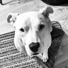 """""""You assured me you were good for the money, sir. Don't make me take out your ankles."""" #Carla #DogsOfInstagram #Pittie #PittiesOfInstagram #Staffie #StaffiesOfInstagram"""
