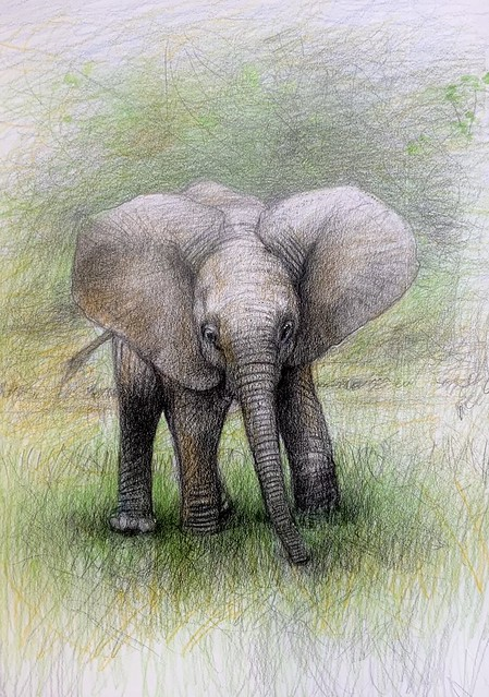 Baby African Elephant .  Coloured pencil drawing by jmsw on card. Last stage of 4.