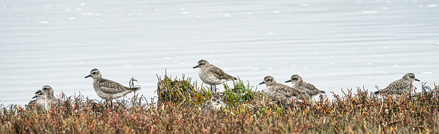 gang of plovers