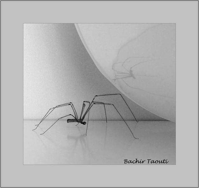 Daddy long legs spider (2)