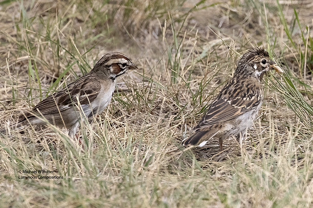 Lark Sparrow adult and juvenile it has just fed