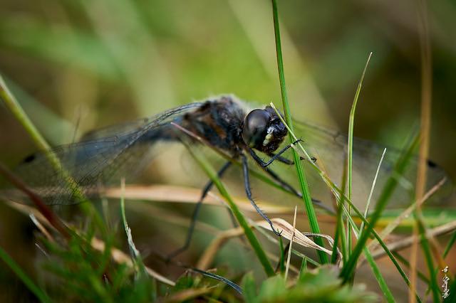 Black dragonfly...