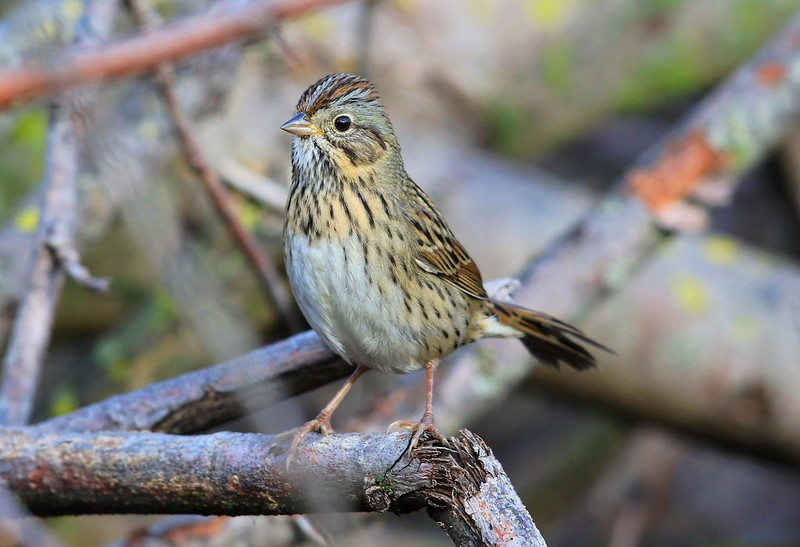 Lincoln's sparrow at Lake Meyer Park IA 2K3A2331