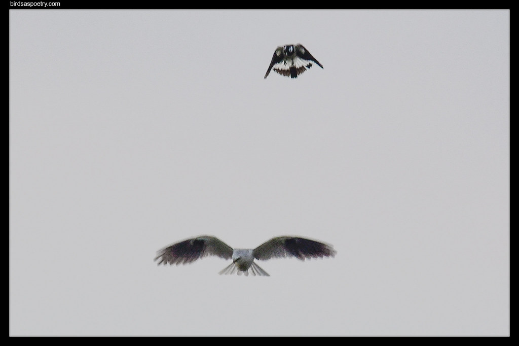 Black-shouldered Kite, Magpie Lark: Not in My Territory you Don''t