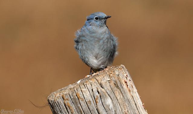 Mountain Bluebird (EXPLORED)