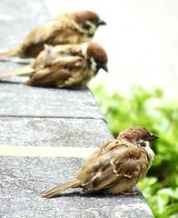 Eurasian tree sparrows (Passer montanus), Tang Plaza Singapore, 24 September 2021.  Sony HX99.