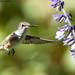 Ruby Throated Hummingbird (20210924-DSC00997)