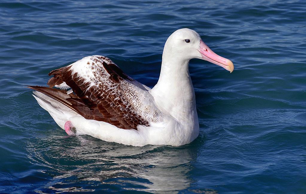 Wandering albatross.