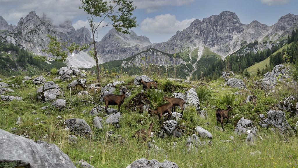 Goats on the Filzmoos Hofalmen