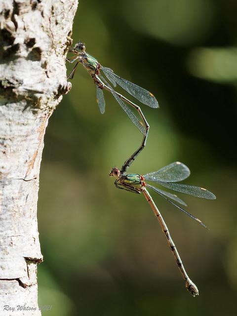 Mating Willow Emerald Damselflies