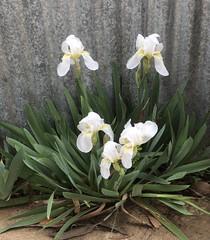 Common Irises.