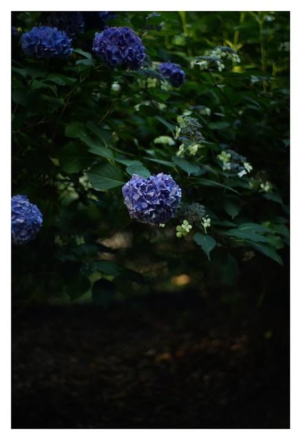 #SONY #ILCE7M2 #a7ii #Sonyimages #50mm #lomography #lomoartlens #lomo #newJupiter3 #iso800 #NDfilter #botanical #botanicalphotography #botanicalart #bokeh #Depthoffield #dof #Asia #Tokyo #Japan #吉祥寺 #井の頭恩賜公園 #武蔵野市 #shinikegamigreen