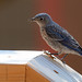 Backyard Bluebird 2