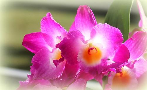 Dendrobium nobile 'Starclass Lilac' 51514372849_4e1ba9b85b