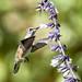 Ruby Throated Hummingbird (20210924-DSC00995)