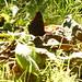 Tagpfauenauge sucht im Laub nach Fallobst