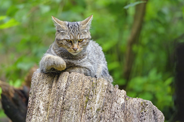 Young wildcat looking serious