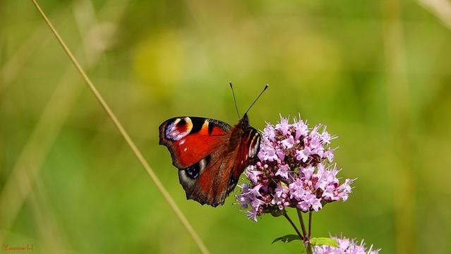 10188 - Butterfly