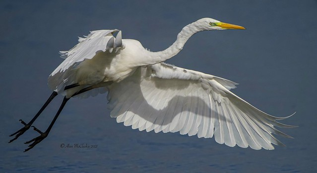 Great White Egret - Explore 25/9/21