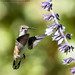 Ruby Throated Hummingbird (20210924-DSC00998)