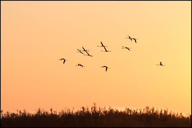 Flamants au coucher de soleil