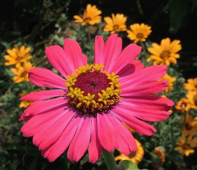 Lovely Pink Zinnia