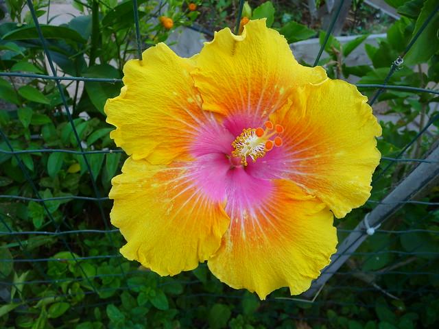 hibiscus 9 21 21