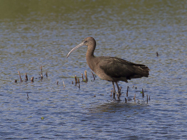 Glossy ibis, one for the memory