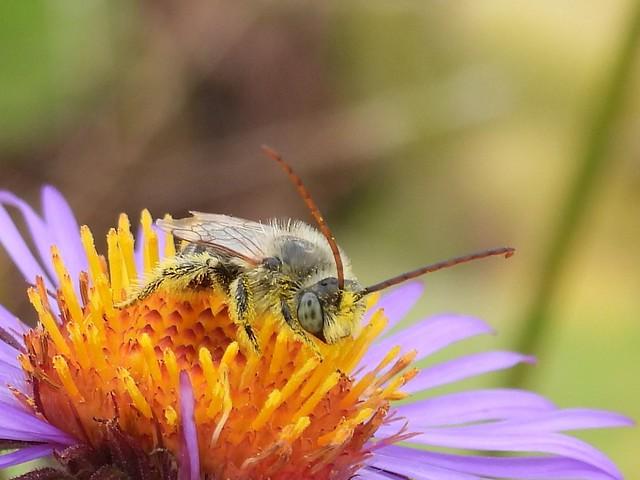 Drury's Long-horned Bee